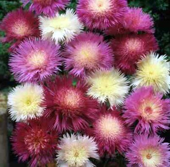 ดอกสวีทสุลต่าน คละสี 5 เมล็ด/ชุด