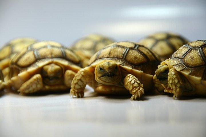 ลูกเต่า Sulcata Tortoise ที่ได้จากการเพาะพันธุ์