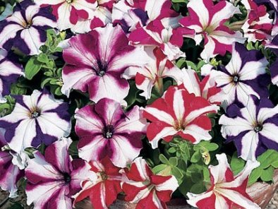 พิทูเนีย แกรนดิฟลอร่า จัมโบ้ สตาร์ มิกซ์ Petunia Grandiflora jumbo star / 100 เมล็ด