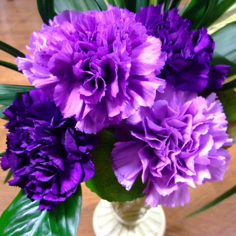 ดอก Carnation (ม่วง) / 10 เมล็ด