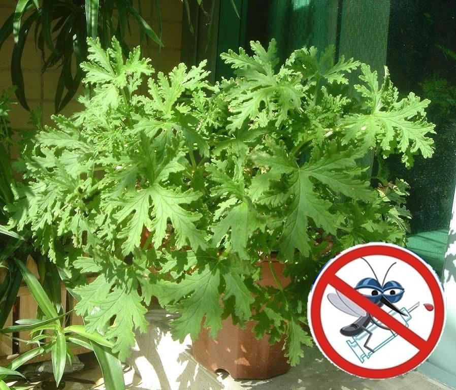 ต้นไม้ไล่ยุง Mosquito Repelling Grass / 5 เมล็ด