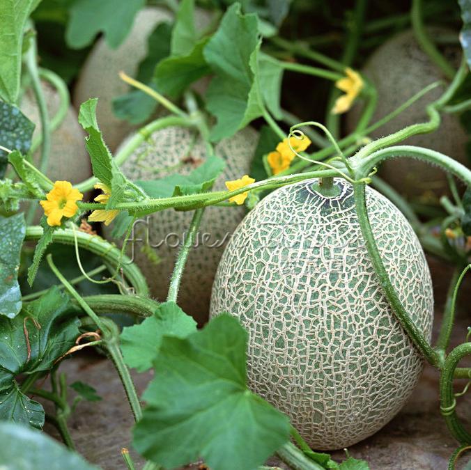 แคนตาลูป Cantaloupe Melon Seeds / 10 เมล็ด