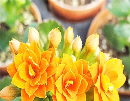 ดอก Longevity (เหลือง) / 20 เมล็ด